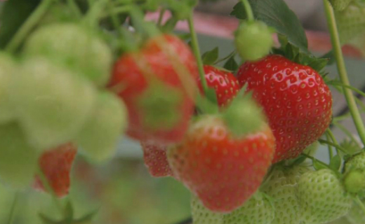 First British strawberries of the season now available in Sainsbury's stores