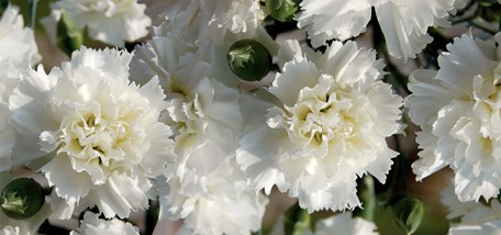 """Homebase launches Dianthus """"Memories"""" plant to raise money for Alzheimer's Society and sister charities in Scotland and Ireland"""