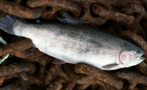 Sainsbury's launches first and exclusive Freedom Food-labelled rainbow trout farmed in Loch Etive