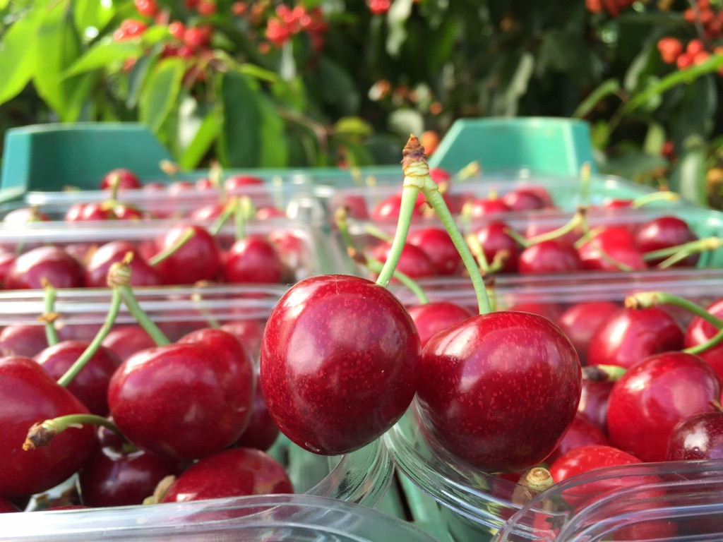 Tesco sees record sales of UK cherries compared with what it sold in 2014