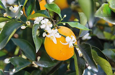 Fairen Handel: Die Migros bezieht ihren Orangensaft neu von zwei Bauern-Kooperativen im Süden Brasiliens