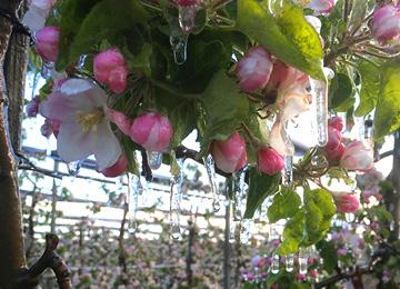 Vermarktungsaktion in REWE- und PENNY-Filialen von Äpfeln mit Frostringen
